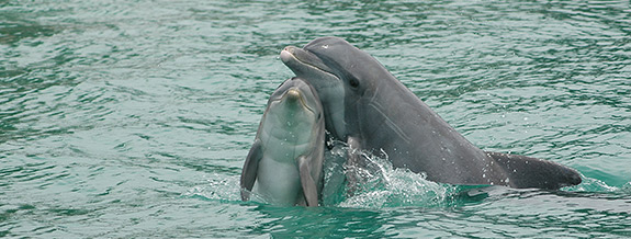 dolpjins_Dolphin6_575